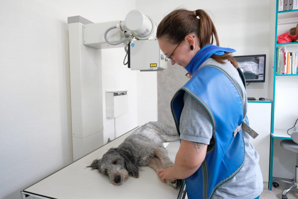 Mitarbeterin in Röntgenschürze hält Pfoten des Hundes auf dem Röntgentisch