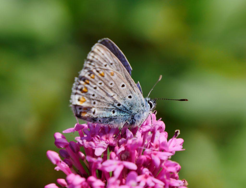 Ein Hauhechel-Bläuling sitzt mit zusammengeklappten Flügeln auf einer purpurfarbenen Blüte.